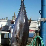 BST 209 big eye (26TH Annual Ocean City Tuna Tournament FINAL RESULTS)